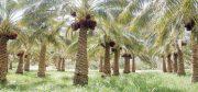 باغ های اطراف ارگ قدیم بم ظرفیت ویژه ای برای رونق گردشگری است