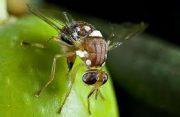 آفت مگس میوه مدیترانهای در کمین باغات دلفارد