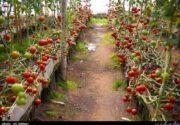 افتتاح مدرنترین گلخانه کشور در کرمان؛ ایجاد اشتغال پایدار برای ۴۵۵ نفر